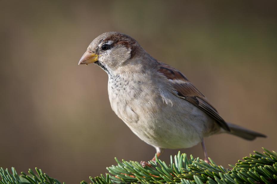 Wróbel Ptaki Nikon D7100 NIKKOR 200-500mm f/5.6E AF-S Zwierzęta ptak wróbel dziób fauna zięba dzikiej przyrody ptak przysiadujący ścieśniać Emberizidae