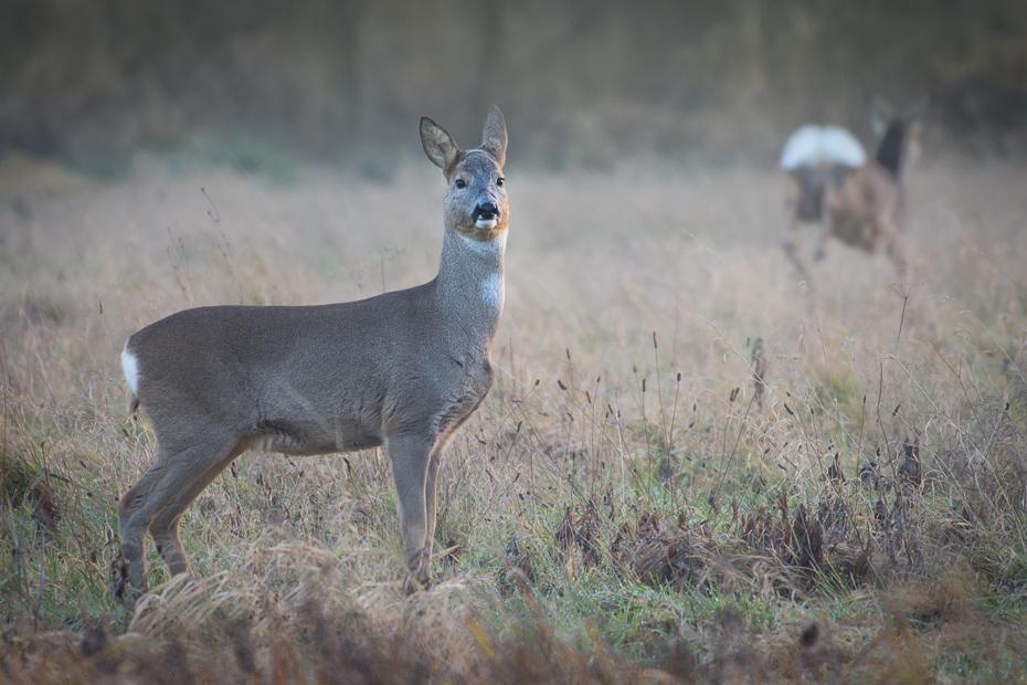 Sarny Inne Nikon D7200 NIKKOR 200-500mm f/5.6E AF-S Zwierzęta dzikiej przyrody jeleń fauna ssak pustynia Sarna z bialym ogonem łąka zwierzę lądowe trawa Park Narodowy