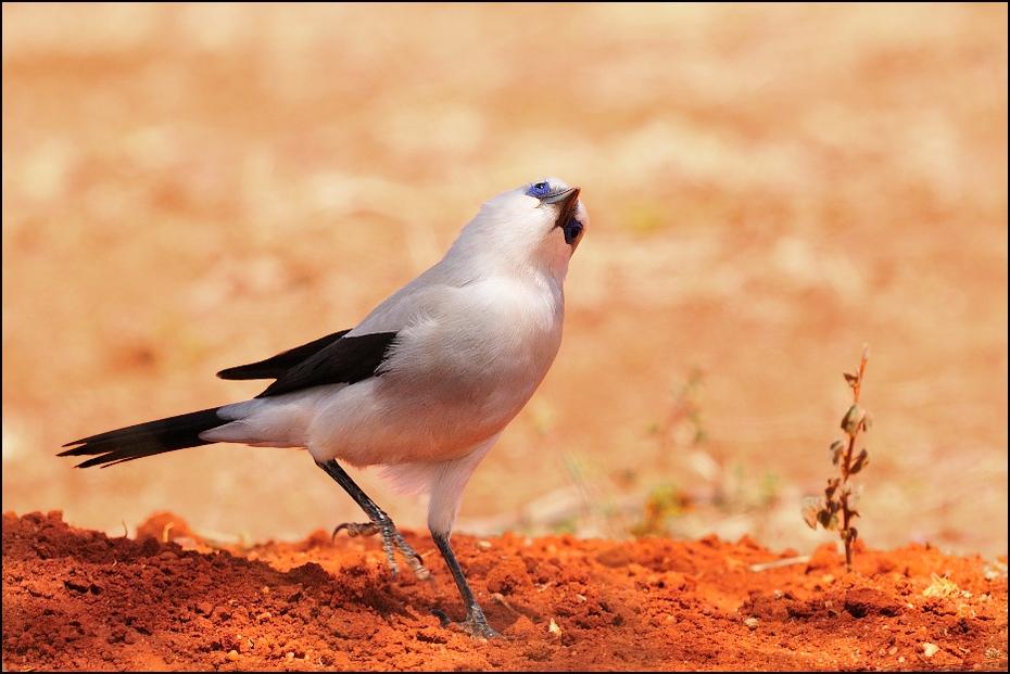 Abisyniak Ptaki Nikon D300 Sigma APO 500mm f/4.5 DG/HSM Etiopia 0 ptak fauna dziób dzikiej przyrody pióro ecoregion Emberizidae