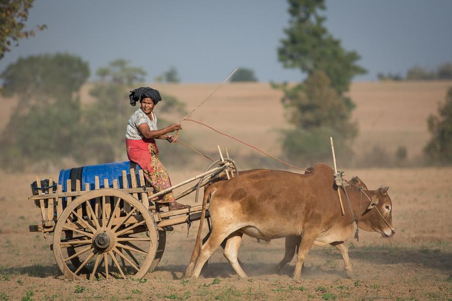 Zaprzęg drodze Nikon D7100 AF-S Nikkor 70-200mm f/2.8G 0 Myanmar bydło takie jak ssak obszar wiejski wózek pole oxcart wół róg gospodarstwo rolne ecoregion rolnictwo