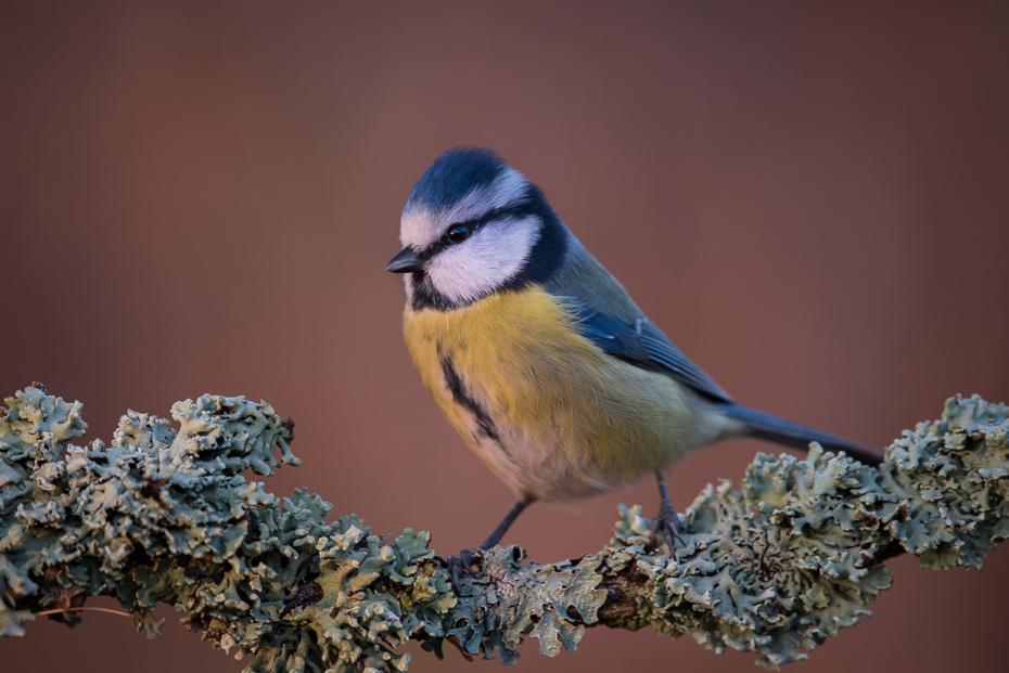 Sikora modra Ptaki Nikon D7200 Sigma 150-600mm f/5-6.3 HSM Zwierzęta ptak dziób fauna dzikiej przyrody zięba chickadee pióro ptak przysiadujący flycatcher starego świata organizm
