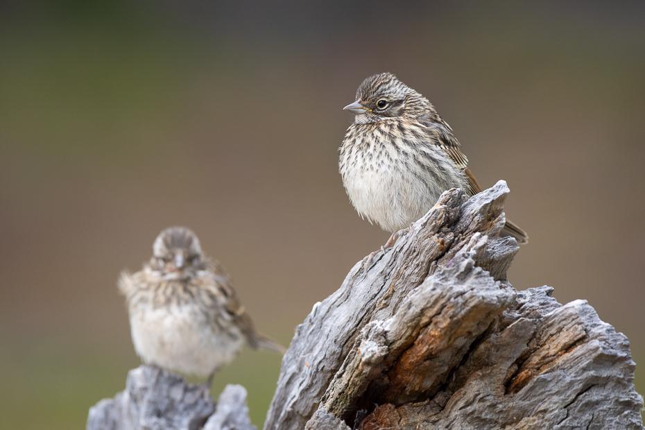 Chruściak jednobarwny Ptaki Nikon D7200 Sigma 150-600mm f/5-6.3 HSM 0 Patagonia ptak kręgowiec dziób Song Sparrow Swamp Sparrow zięba wróbel ptak przysiadujący Wróbel skowronek