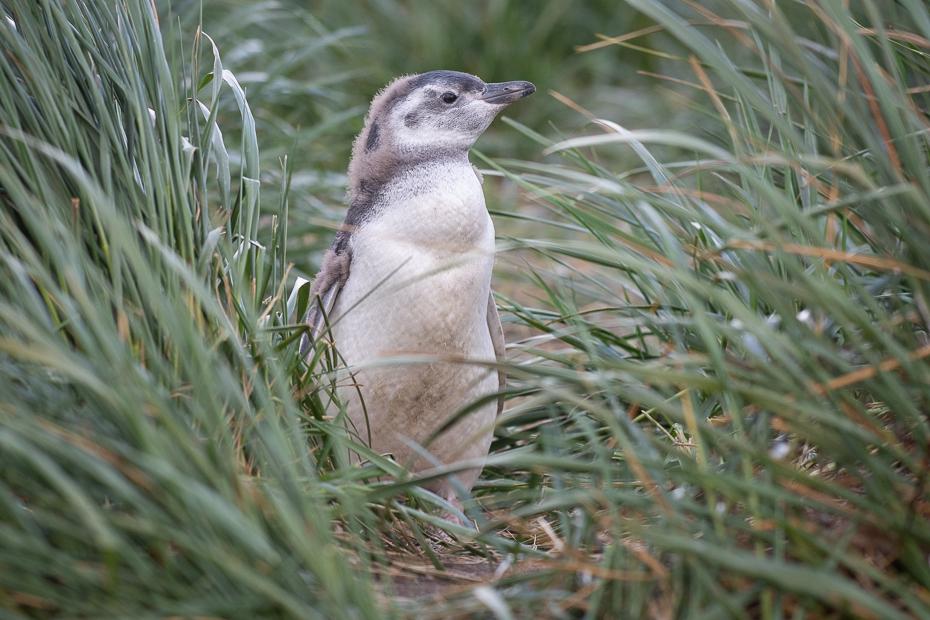 Pingwin Magellański Ptaki Nikon D7200 Sigma 150-600mm f/5-6.3 HSM 0 Patagonia kręgowiec dzikiej przyrody trawa rodzina traw ptak zwierzę lądowe Surykatka roślina Adaptacja dziób