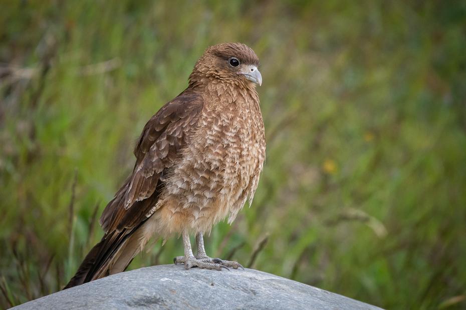 Trębacz brązowy Ptaki Nikon D7200 Sigma 150-600mm f/5-6.3 HSM 0 Patagonia ptak kręgowiec jastrząb dziób Cooper's Hawk ptak drapieżny myszołów Accipitridae Czerwony barkami Jastrzębia accipitriformes