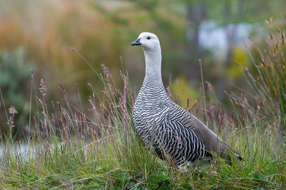 Magelanka zmienna Ptaki Nikon D7200 Sigma 150-600mm f/5-6.3 HSM 0 Patagonia ptak kręgowiec dziób galliformes dzikiej przyrody trawa zwierzę lądowe rodzina traw łąka Adaptacja
