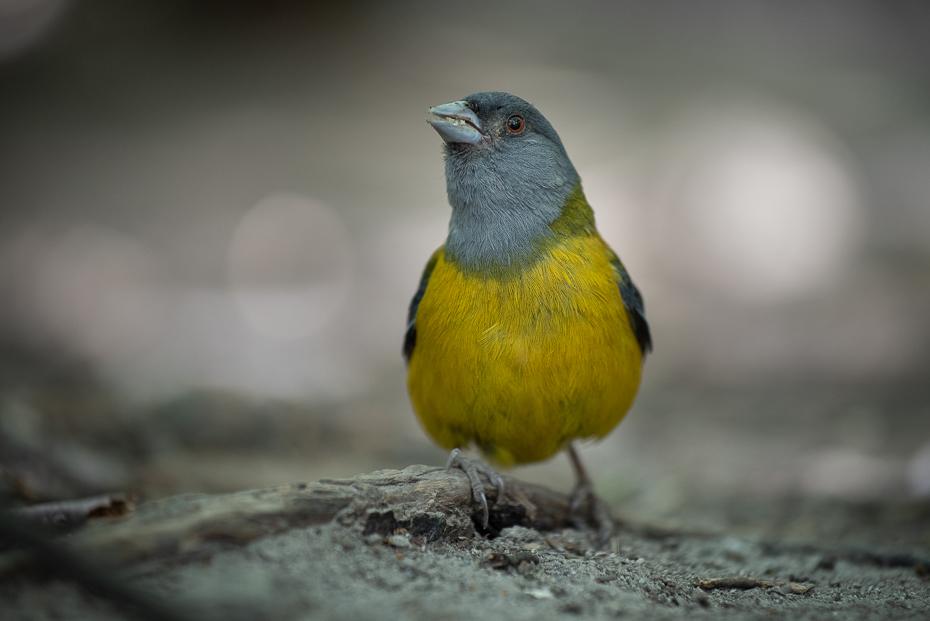 Chruściak magellański Ptaki nikon d750 Nikkor AF-S 70-200 f/4.0G 0 Patagonia ptak kręgowiec dziób zięba ptak śpiewający Emberizidae Kanarek atlantycki ptak przysiadujący dzikiej przyrody Adaptacja