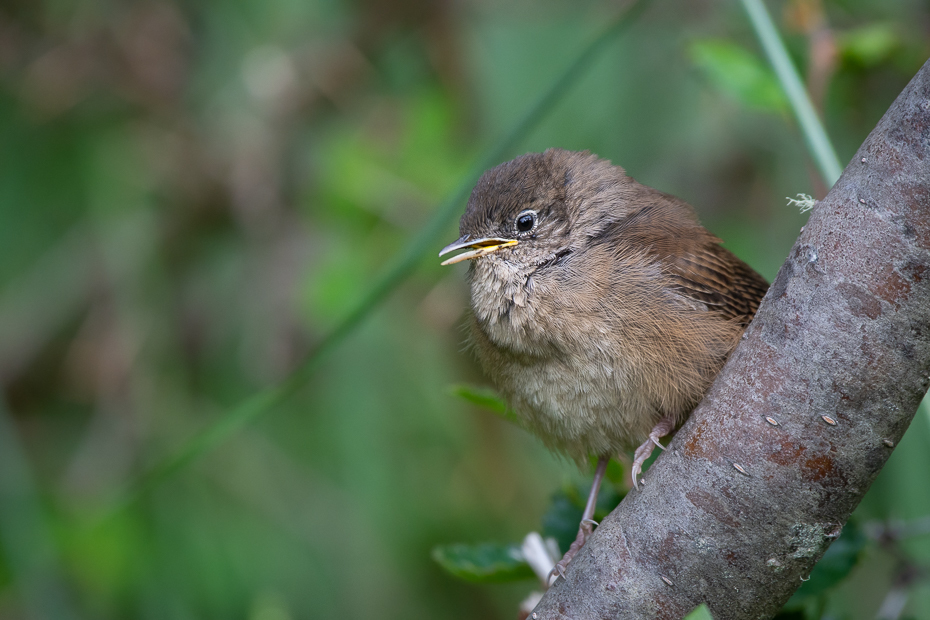 Strzyżyk śpiewny Ptaki Nikon D7200 Sigma 150-600mm f/5-6.3 HSM 0 Patagonia ptak dziób strzyżyk dzikiej przyrody Dzięcioł Dzięcioła zięba ptak przysiadujący społeczność roślin Adaptacja flycatcher starego świata