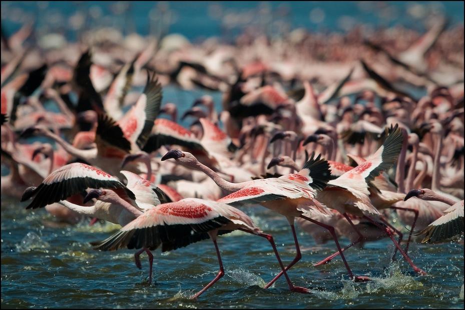 Flamingi jeziorze Bogoria Ptaki Nikon D300 Sigma APO 500mm f/4.5 DG/HSM Kenia 0 ptak flaming wodny ptak woda dziób Ciconiiformes niebo