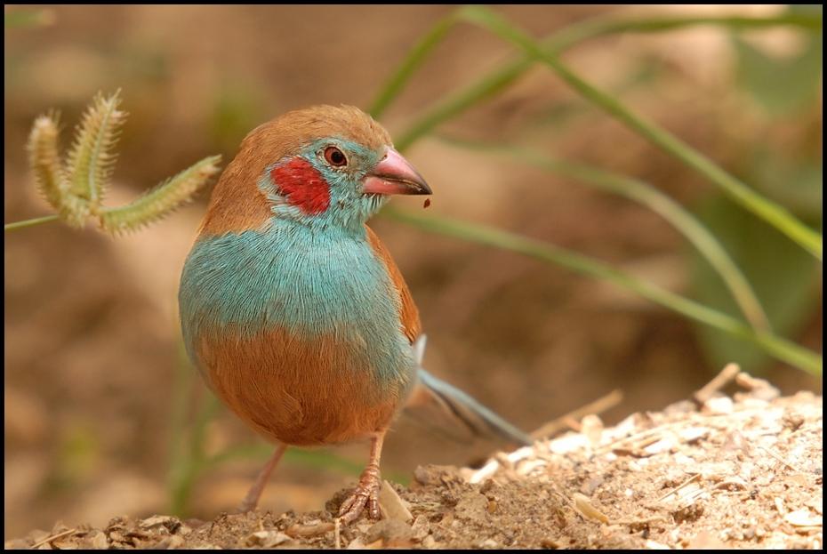 Motylik krasnouchy Ptaki Nikon D200 Sigma APO 50-500mm f/4-6.3 HSM Senegal 0 ptak dziób fauna zięba ścieśniać dzikiej przyrody organizm pióro