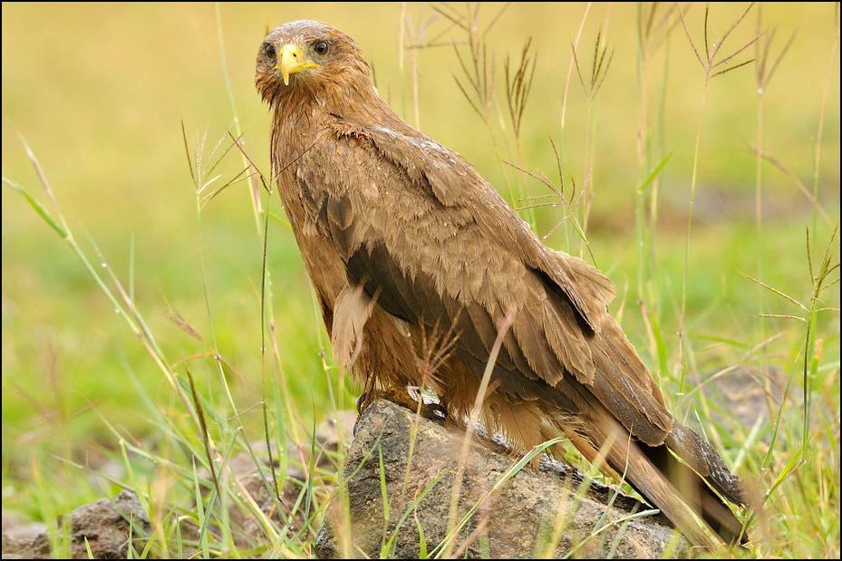 Kania czarna Ptaki Nikon D300 Sigma APO 500mm f/4.5 DG/HSM Tanzania 0 ekosystem ptak ptak drapieżny fauna dziób sokół orzeł myszołów ecoregion dzikiej przyrody