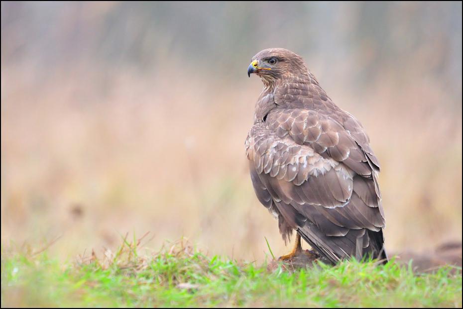Myszołów Ptaki _DSC6708 Nikon D300 Sigma APO 500mm f/4.5 DG/HSM Zwierzęta ptak ekosystem ptak drapieżny fauna jastrząb dziób myszołów dzikiej przyrody orzeł sokół