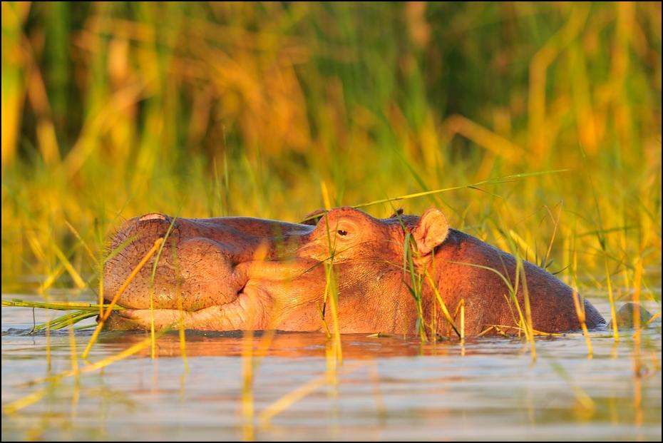 Hipopotam #1