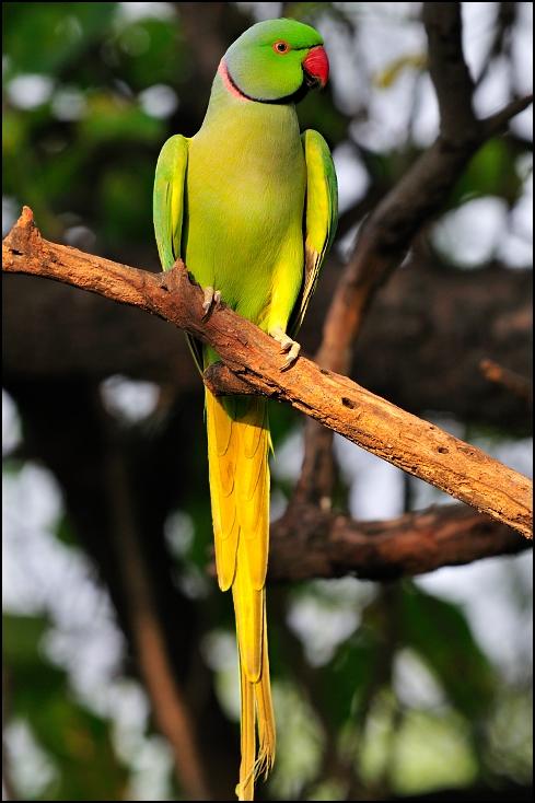 Aleksandretta obrożna Ptaki Nikon D300 Sigma APO 500mm f/4.5 DG/HSM Indie 0 ptak papuga długoogonowa zwykła papuga dla zwierząt domowych papuga fauna dziób perico ara kocham ptaka organizm