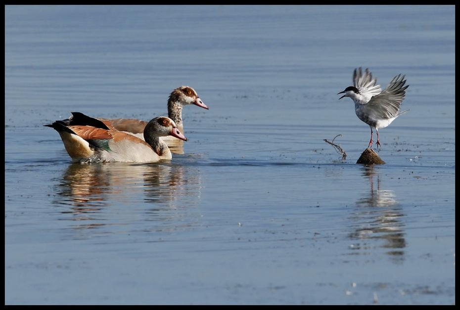 Sprzeczka Ptaki gęś egipska, rybitwa, ptaki Nikon D200 Sigma APO 500mm f/4.5 DG/HSM Kenia 0 ptak woda wodny ptak fauna odbicie dzikiej przyrody kaczki gęsi i łabędzie shorebird kaczka dziób