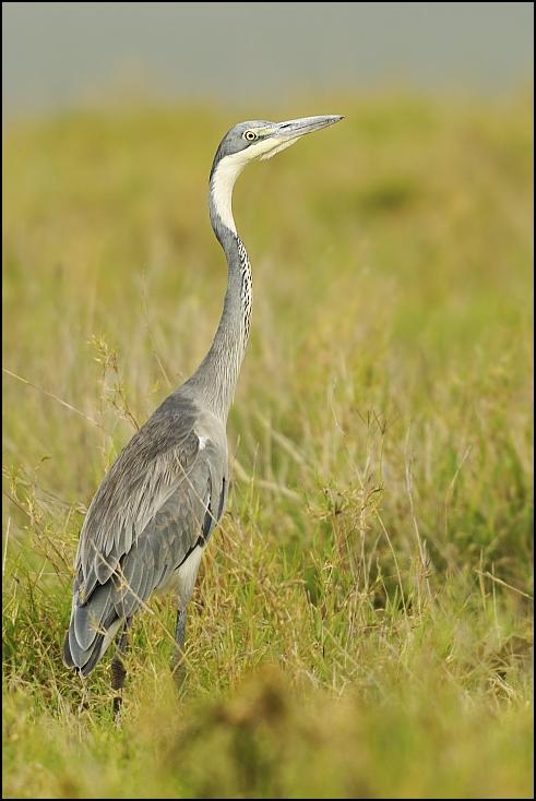 Czapla siwa Ptaki Nikon D300 Sigma APO 500mm f/4.5 DG/HSM Tanzania 0 ptak ekosystem fauna żuraw jak ptak łąka dzikiej przyrody dziób dźwig trawa ecoregion