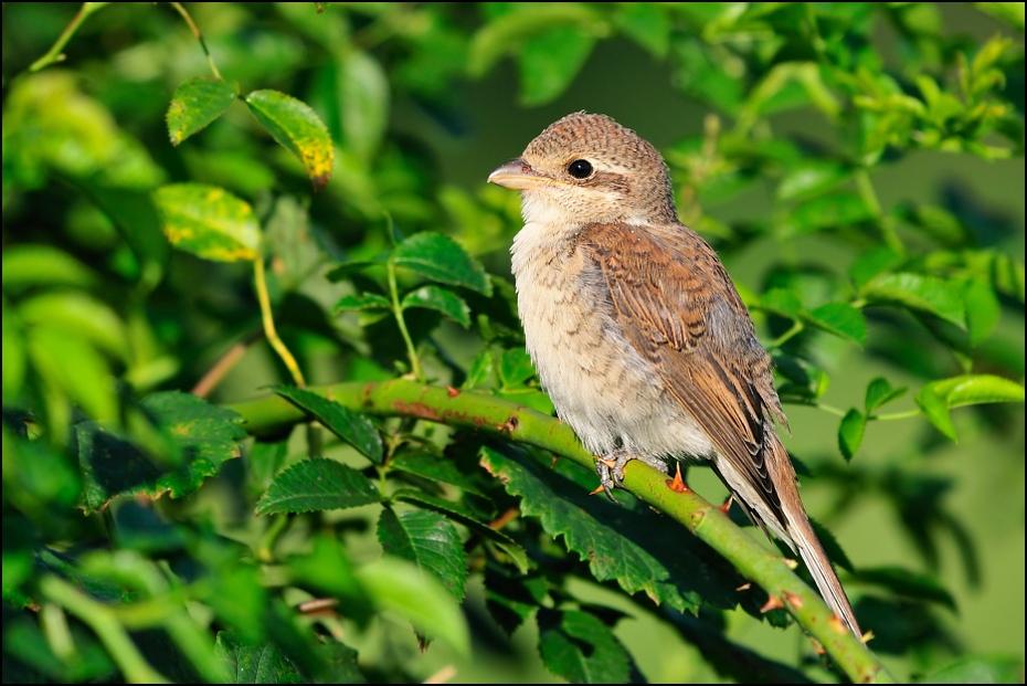 Gąsiorek juv. Ptaki Nikon D300 Sigma APO 500mm f/4.5 DG/HSM Zwierzęta ptak fauna dziób ekosystem dzikiej przyrody flycatcher starego świata słowik organizm gałąź wróbel