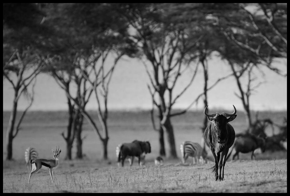 Antylopa gnu Przyroda Nikon D200 Sigma APO 500mm f/4.5 DG/HSM Kenia 0 dzikiej przyrody czarny i biały czarny fauna fotografia monochromatyczna fotografia sawanna monochromia safari drzewo