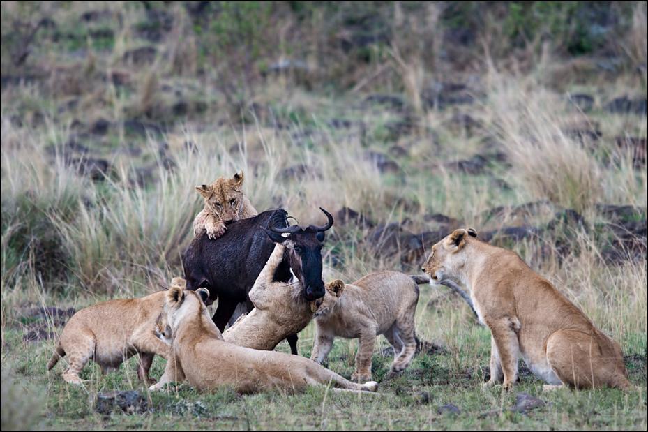 Nauka młodych lwów Zwierzęta Nikon D300 Sigma APO 500mm f/4.5 DG/HSM Kenia 0 dzikiej przyrody Lew ssak fauna masajski lew pustynia zwierzę lądowe duże koty safari kot jak ssak