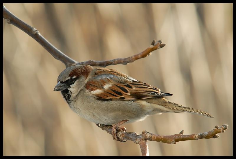 Wróbel Ptaki wróbel ptaki Nikon D200 Sigma APO 100-300mm f/4 HSM Zwierzęta ptak fauna dziób zięba dzikiej przyrody brambling pióro ptak przysiadujący