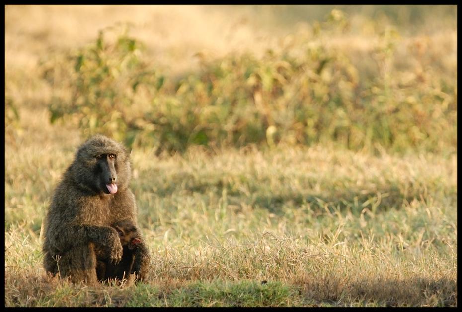 Pawiany Przyroda małpa Nikon D200 Sigma APO 500mm f/4.5 DG/HSM Kenia 0 dzikiej przyrody fauna ssak pustynia ekosystem trawa łąka prymas stary świat małpa sawanna