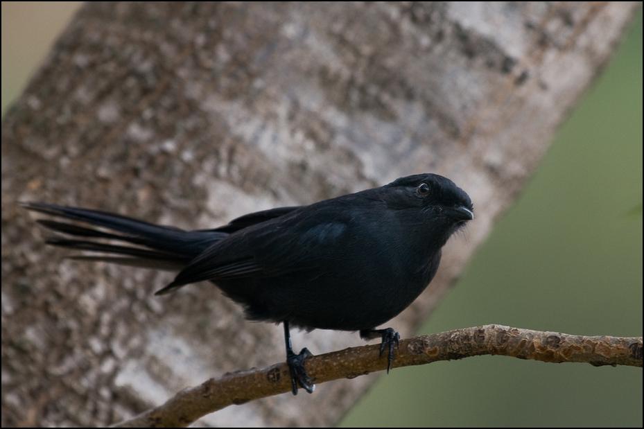 Mucharka lśniąca Ptaki Nikon D300 Sigma APO 500mm f/4.5 DG/HSM Kenia 0 ptak fauna dziób pióro flycatcher starego świata skrzydło kos Emberizidae organizm dzikiej przyrody