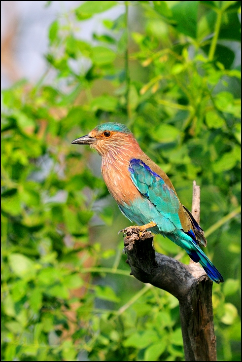 Kraska indyjska Ptaki Nikon D300 Sigma APO 500mm f/4.5 DG/HSM Indie 0 ptak dziób fauna ekosystem dzikiej przyrody wałek flycatcher starego świata organizm gałąź cuculiformes