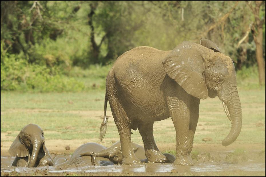 Młode słonie Zwierzęta słoń, słonie, slonie, Tanzania Nikon D300 Sigma APO 500mm f/4.5 DG/HSM 0 słoń słonie i mamuty dzikiej przyrody zwierzę lądowe słoń indyjski ssak fauna Słoń afrykański kieł safari