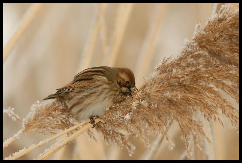 Potrzos Ptaki potrzos ptaki Nikon D200 Sigma APO 100-300mm f/4 HSM Zwierzęta fauna ptak pióro wróbel dziób dzikiej przyrody Wróbel ptak przysiadujący rodzina traw skrzydło