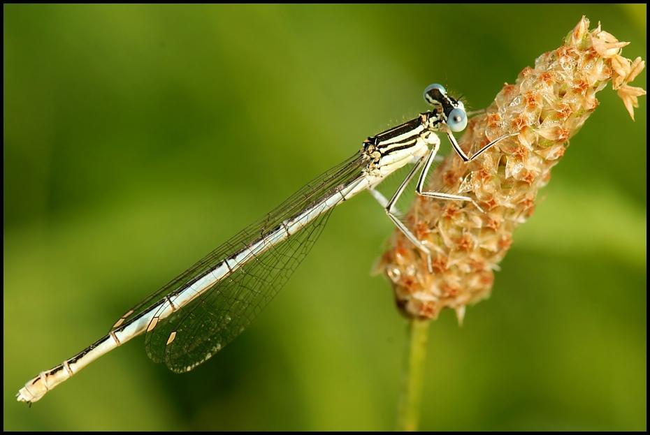 Ważka Ważki Nikon D200 AF-S Micro-Nikkor 105mm f/2.8G IF-ED Makro owad ważka damselfly ważki i muchy fotografia makro ścieśniać bezkręgowy organizm dzikiej przyrody owady skrzydlate
