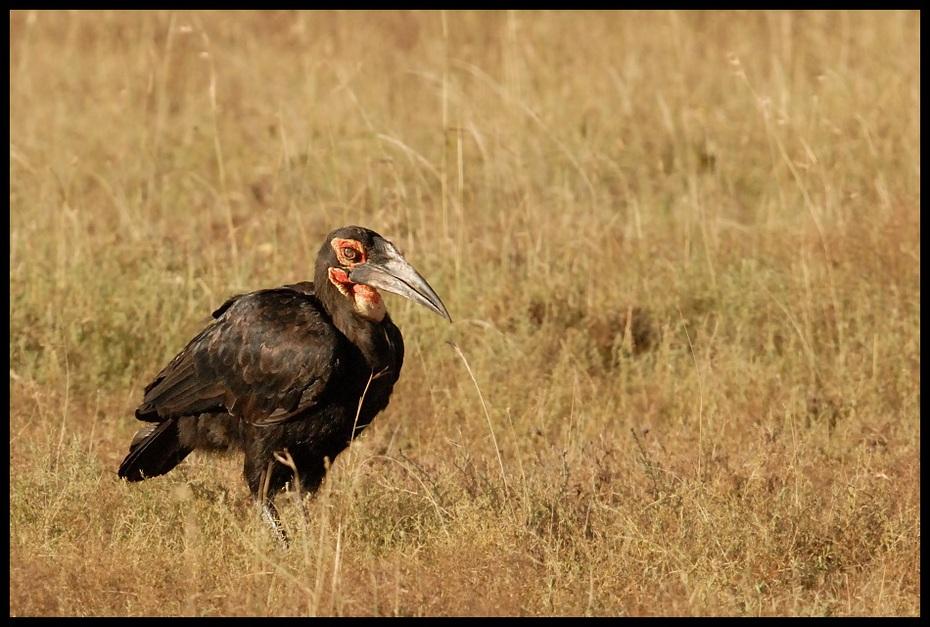Dzioboróg kafryjski Ptaki dzioboróg Nikon D200 Sigma APO 500mm f/4.5 DG/HSM Kenia 0 ekosystem ptak fauna dziób dzikiej przyrody ecoregion sęp ptak drapieżny trawa Ciconiiformes