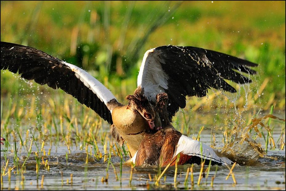 Gęś egipska Ptaki Nikon D300 Sigma APO 500mm f/4.5 DG/HSM Etiopia 0 ptak woda dzikiej przyrody fauna dziób Ciconiiformes bocian trawa wodny ptak sęp