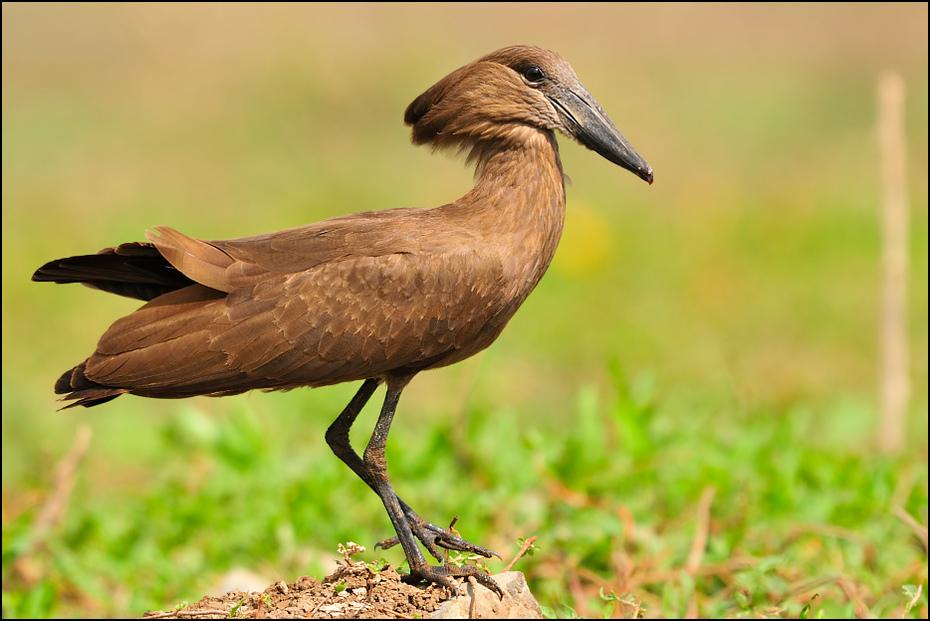 Waruga Ptaki Nikon D300 Sigma APO 500mm f/4.5 DG/HSM Etiopia 0 ptak fauna dziób dzikiej przyrody organizm ibis Ciconiiformes ecoregion żuraw jak ptak bocian