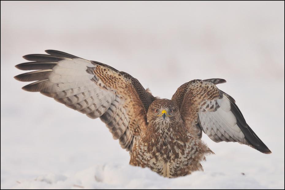 Myszołów #13 Ptaki Nikon D300 Sigma APO 500mm f/4.5 DG/HSM Zwierzęta ptak dziób jastrząb ptak drapieżny sokół fauna myszołów pióro dzikiej przyrody orzeł