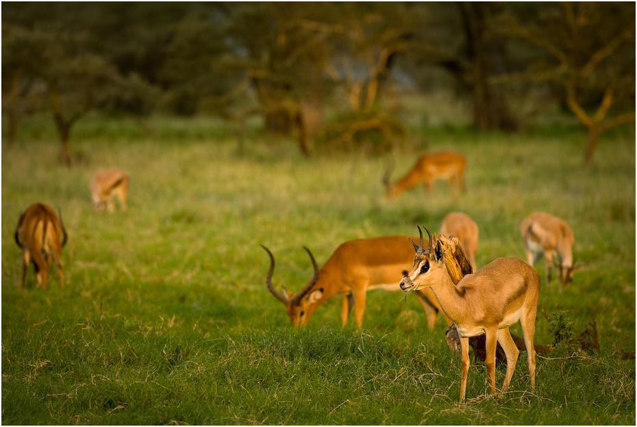 Gazele impale Zwierzęta Nikon D200 AF-S Nikkor 70-200mm f/2.8G Kenia 0 dzikiej przyrody łąka ekosystem fauna gazela impala rezerwat przyrody zwierzę lądowe pustynia preria