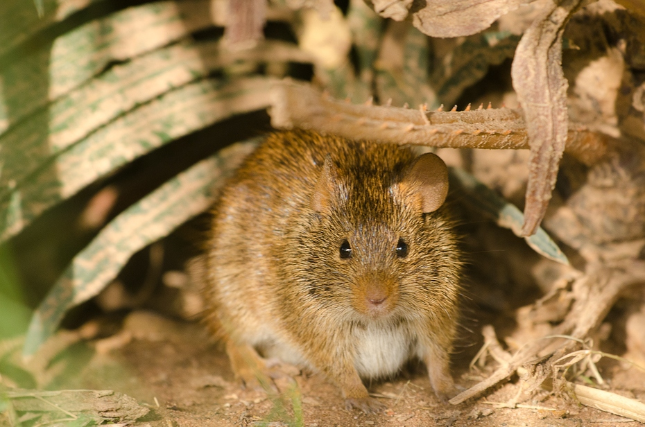 Mysz Senegal Nikon D7000 Sigma APO 500mm f/4.5 DG/HSM Budapeszt Bamako 0 mysz fauna ssak muridae szczur gryzoń muroidea Myszoskoczek dzikiej przyrody wąsy