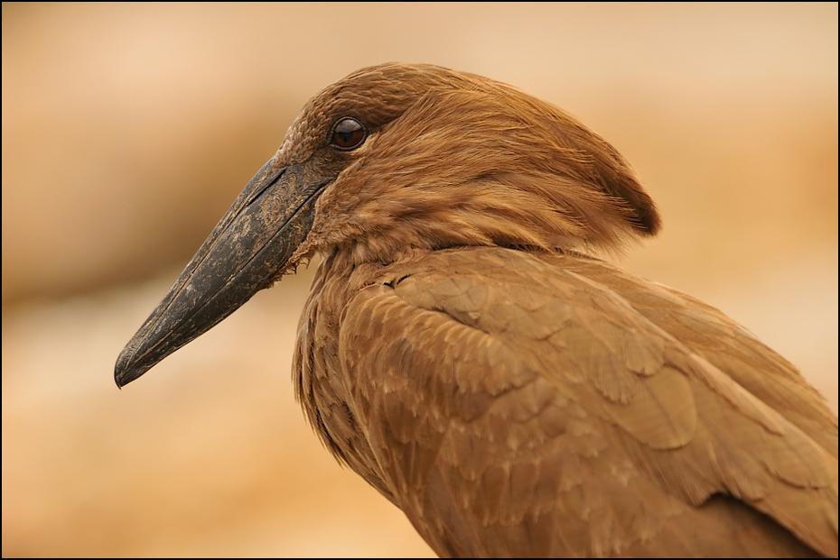 Waruga Ptaki Nikon D300 Sigma APO 500mm f/4.5 DG/HSM Etiopia 0 dziób ptak fauna ścieśniać dzikiej przyrody pióro bocian Ciconiiformes skrzydło sęp