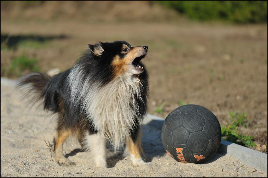 Fokus Psy Nikon D700 AF-S Micro-Nikkor 105mm f/2.8G IF-ED Zwierzęta pies pies jak ssak rasa psa grupa psów pomorski niemiecki szpic mittel szpic niemiecki niemiecki spitz klein carnivoran pysk