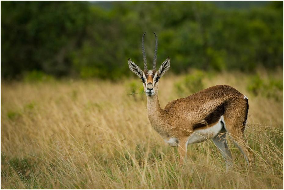 Gazela deszczu Zwierzęta Nikon D200 AF-S Nikkor 70-200mm f/2.8G Kenia 0 dzikiej przyrody fauna ekosystem gazela ssak łąka zwierzę lądowe antylopa springbok rezerwat przyrody