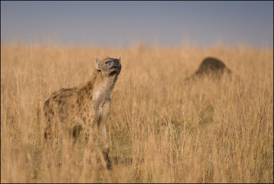 Hiena Zwierzęta Nikon D200 AF-S Nikkor 70-200mm f/2.8G Kenia 0 dzikiej przyrody łąka ekosystem hiena sawanna fauna preria pustynia step ecoregion