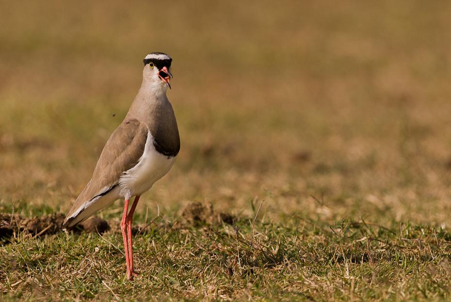 Czajka koroniasta Ptaki ptaki Nikon D200 Sigma APO 500mm f/4.5 DG/HSM Kenia 0 ptak ekosystem fauna dziób dzikiej przyrody trawa shorebird łąka ecoregion ptak morski
