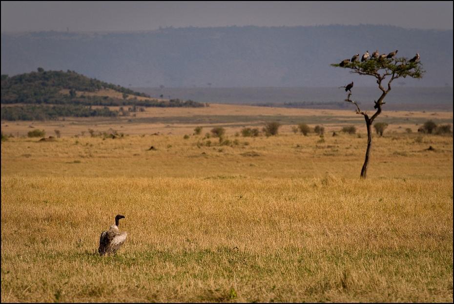 Sępy Krajobraz Nikon D200 AF-S Nikkor 70-200mm f/2.8G Kenia 0 dzikiej przyrody łąka ekosystem sawanna fauna Równina pustynia preria krzewy rezerwat przyrody