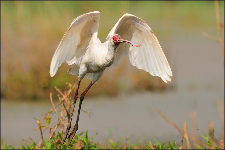Warzęcha czerwonolica Ptaki Nikon D300 Sigma APO 500mm f/4.5 DG/HSM Etiopia 0 ptak ibis dziób ekosystem fauna żuraw jak ptak bocian dzikiej przyrody warzęcha biała Ciconiiformes