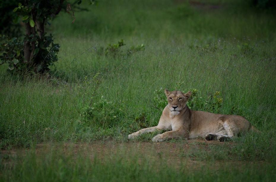 Lwica Przyroda Nikon D7000 Sigma APO 500mm f/4.5 DG/HSM Tanzania 0 dzikiej przyrody Lew fauna łąka ssak pustynia trawa Park Narodowy zwierzę lądowe masajski lew