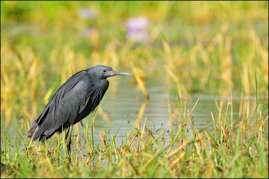 Czapla czarna Ptaki Nikon D300 Sigma APO 500mm f/4.5 DG/HSM Etiopia 0 ptak ekosystem fauna dziób dzikiej przyrody liść trawa organizm czapla rodzina traw