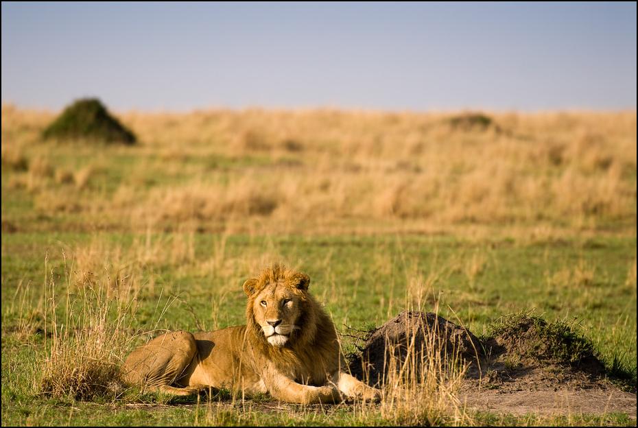 Lew Zwierzęta Nikon D200 AF-S Nikkor 70-200mm f/2.8G Kenia 0 dzikiej przyrody łąka ekosystem pustynia sawanna fauna masajski lew trawa safari