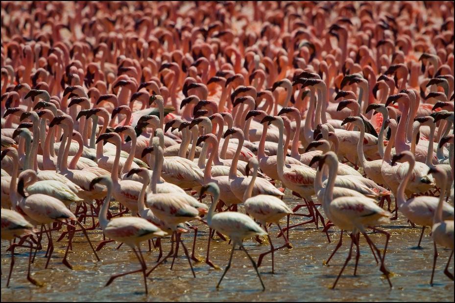 Flamingi jeziorze Bogoria Ptaki Nikon D300 Sigma APO 500mm f/4.5 DG/HSM Kenia 0 flaming wodny ptak dziób ptak dzikiej przyrody