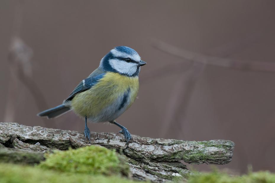 Modraszka Ptaki Nikon D300 Sigma APO 500mm f/4.5 DG/HSM Zwierzęta ptak fauna dziób dzikiej przyrody chickadee flycatcher starego świata pióro ptak przysiadujący zięba organizm