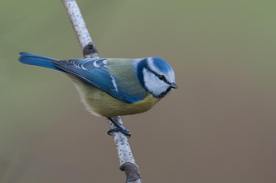 Modraszka Ptaki Nikon D300 Sigma APO 500mm f/4.5 DG/HSM Zwierzęta ptak dziób fauna pióro chickadee ptak przysiadujący strzyżyk dzikiej przyrody sójka ptak śpiewający