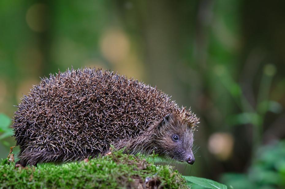 Jeż Inne Nikon D7000 AF-S Nikkor 70-200mm f/2.8G Zwierzęta jeż udomowiony jeż erinaceidae fauna ssak jeżozwierz dzikiej przyrody pysk trawa organizm
