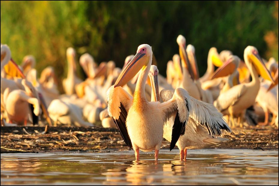 Pelikan Ptaki Nikon D300 Sigma APO 500mm f/4.5 DG/HSM Etiopia 0 pelikan ptak ptak morski dziób dzikiej przyrody Ciconiiformes